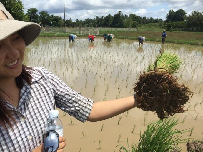 Rice paddy Ko Klong Thailand