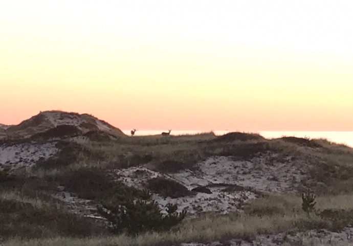 Deer at sunrise Montauk